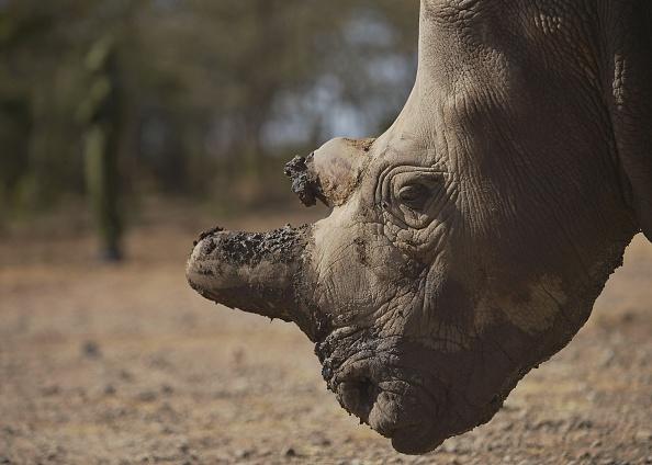 La mort d'un des 5 derniers rhinocéros blanc du Nord alerte sur l'imminente extinction de l'espèce