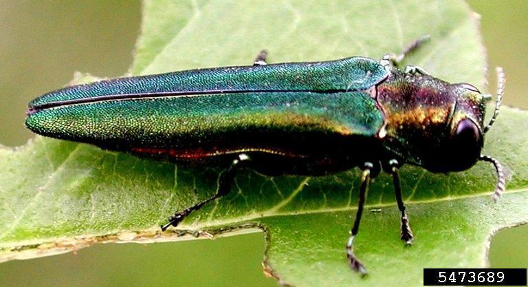 L'agrile du frêne: l'insecte qui ravage nos forêts