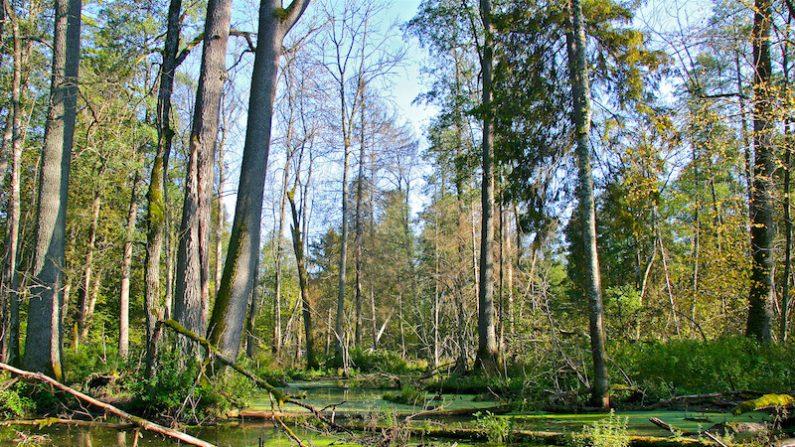 Qui menace la forêt de Bialowieza?