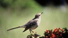 Les oiseaux utilisent de la grammaire dans leurs chants