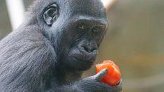 Les plus grand gorilles actuellement en grand danger d'extinction