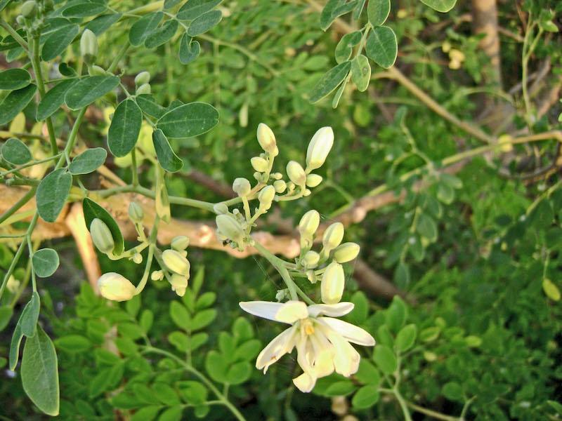 Le moringa, un légume miracle et un aliment aux vertus exceptionnelles
