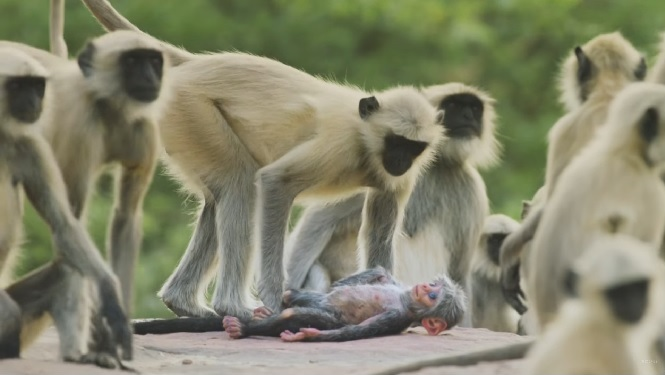 Des singes montrent leur compassion en s'attristant sans fin sur un faux singe bionique «mort»