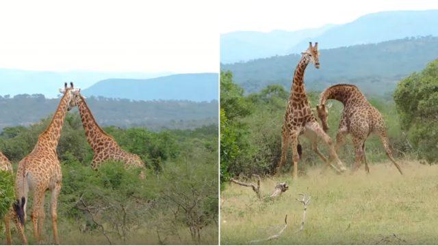 Rare et épique, le spectacle d'une bataille de girafes