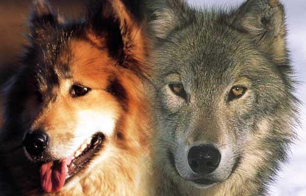 9 races de chiens magnifiques ressemblant aux loups
