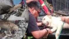 Après avoir sauvé 7 personnes d'un tremblement de terre, un labrador est mort d'épuisement