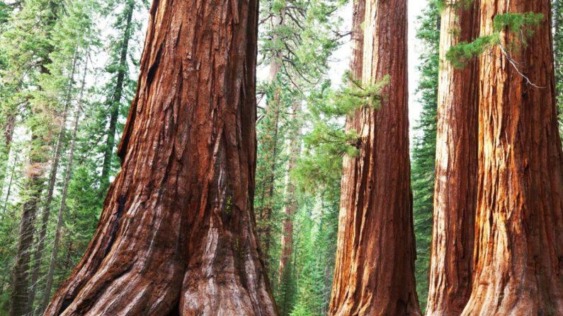Le séquoia, l'histoire d'un arbre millénaire
