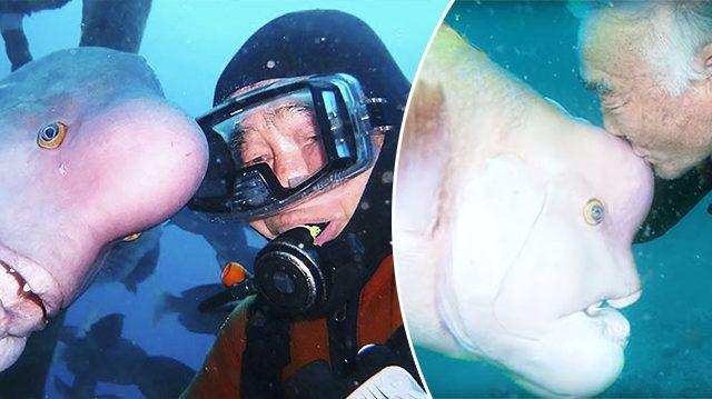 Une émouvante amitié longue de 25 ans entre un plongeur japonais et un poisson