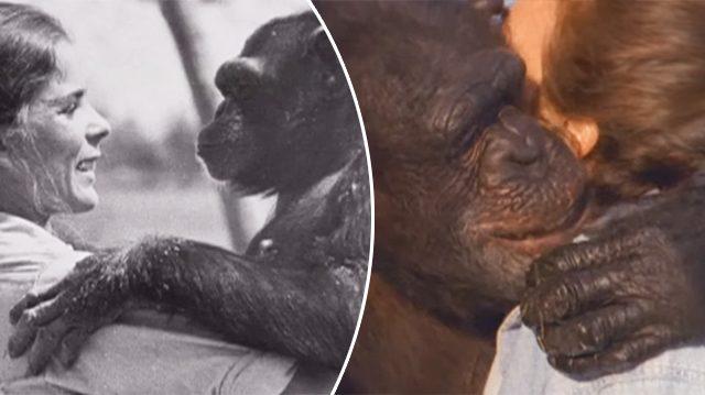 Après 18 ans de séparation, cette femme rencontre les chimpanzés qu'elle a aidés à sauver