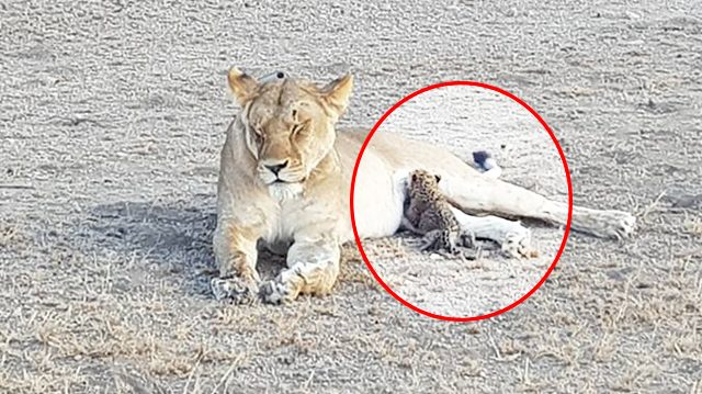 Une lionne sauvage allaite un bébé léopard – un phénomène sans précédent selon les experts!