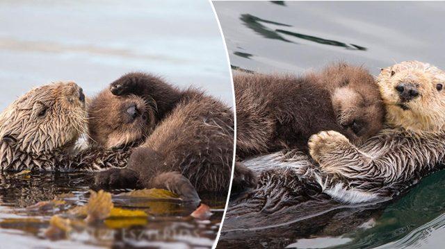 Maman loutre garde bébé, sec et chaud, sur son ventre douillet