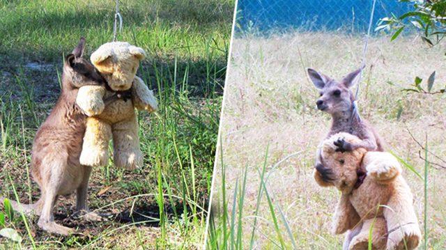 Une peluche à câliner pour un bébé kangourou orphelin