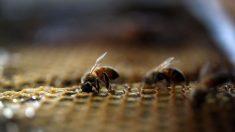 Les Nations Unies de New-York deviennent un refuge pour les abeilles