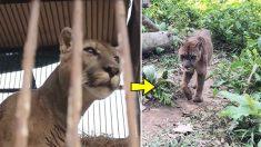 En captivité durant 20 ans, ce puma goûte à la liberté après avoir été secouru d'un cirque itinérant péruvien