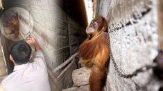 Un bébé orang-outan, enchaîné entre deux murs pendant un an, était terrifié de voir ses sauveurs, maintenant il est en réadaptation
