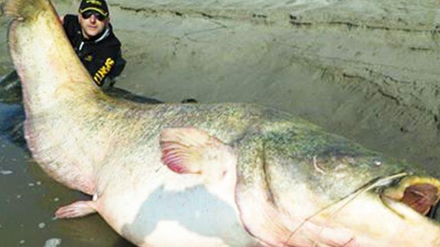 Le poisson,chat géant du Mékong est en danger critique, un déclin de près