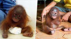 Ce bébé orang-outan traumatisé garde les bras serrés fermement, signe d'un grand manque d'amour maternel