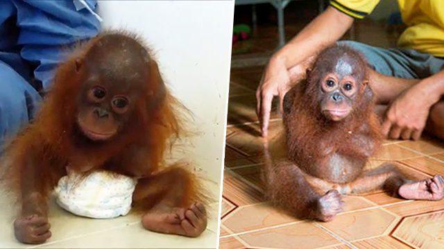Gut gemocht Ce bébé orang-outan traumatisé garde les bras serrés fermement  HW23