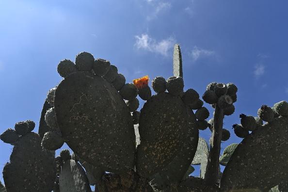 le nopal une plante polyvalente qui a plus d un tour dans son sac bien tre cactus. Black Bedroom Furniture Sets. Home Design Ideas