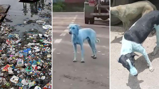 Des chiens errants bleus après s'être baignés dans une rivière indienne où les usines déversent des déchets industriels