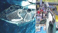 Après la mort d'une orque à SeaWorld, l'ancien entraîneur expose leurs conditions de vie terribles