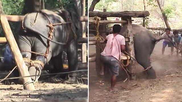 Une vidéo montre le côté sombre du «tourisme de l'éléphant», vous ne monterez plus jamais sur un éléphant