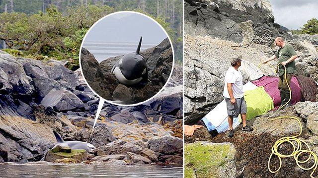 Une orque piégée par la marée basse prend le large après 8 heures d'efforts des sauveteurs