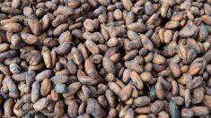 Du cacao brut au chocolat: des procédés de transformation complexes et minutieux