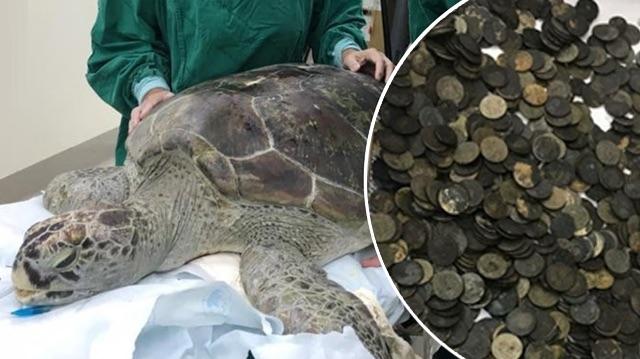 Cette tortue ne pouvait plus nager parce qu'elle avait 915 pièces dans son estomac!