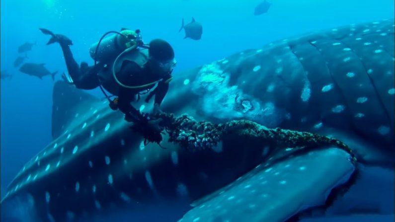 Un requin-baleine coopère avec des plongeurs pour se libérer d'une corde autour de la nageoire