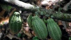 Aux sources du cacao, véritable nourriture des dieux