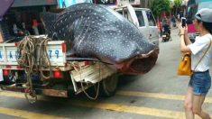 Un requin-baleine est traîné à travers la ville et coupé en morceaux en public