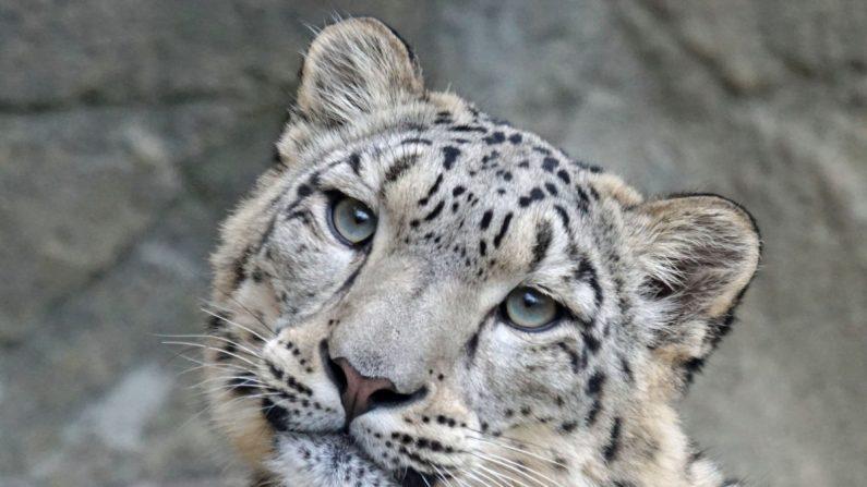 1465cbb3749c1 C est officiel   le léopard des neiges n est plus en voie de ...