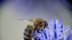 Autorisation de deux nouveaux insecticides qui pourraient mettre en danger les abeilles françaises