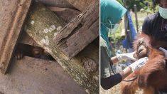 Un bébé orang-outan terrifié trouvé dans une caisse en bois. Les sauveteurs pensent qu'elle a vu quelque chose d'horrible