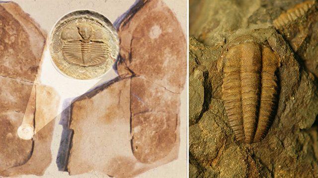 Un fossile avec une empreinte humaine, les humains auraient-ils coexisté avec cet animal il y a 250 millions d'années?