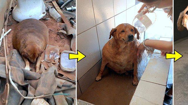 Des sauveteurs trouvent un chien errant obèse qui pouvait à peine marcher – regardez-le maintenant!
