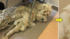 Un chat négligé pendant longtemps est recouvert d'une fourrure de plus de 2 kilos. Son nouveau propriétaire prend les choses en main et le félin lui-même n'en revient pas de son nouveau look