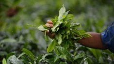 Les dix vertus bienfaisantes du thé