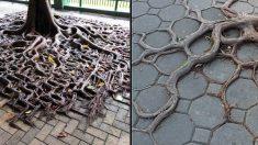 La résilience! Les racines étonnantes de ces arbres ont trouvé des moyens de s'accrocher à la vie même sur le sol!