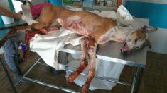 Chaque année en Espagne, 50 000 chiens Galgos sont abandonnés ou tués après avoir été torturés par leurs propriétaires chasseurs