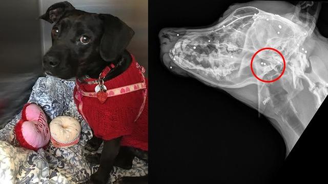 Mama, le chien timide a été sauvé, mais garde un secret bien caché dans son corps!