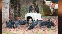 Les vautours attendaient la mortdece pitbull enchaîné, mais tout n'était pas perdu