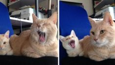 Ces chatons sont de minuscules copies de leurs parents - attention : mignonne surabondance!