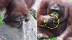 Quel geste salvateur de l'orang-outan! Il parvient à sauver un caneton de la noyade!