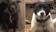 Ces deux chiens étaient enchaînés dans une cour, jusqu'à ce que quelqu'un vienne frapper à la porte