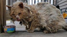 Un chat errant, la fourrure emmêlée et les dents pourries bénéficie d'une cure de jouvence salvatrice – il est maintenant heureux dans son foyer!