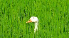 Des canards utilisés à la place des pesticides dans des rizières de Camargue