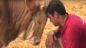 Un taureau danse littéralement de joie lorsqu'il est libéré de sa captivité – une vidéo réconfortante
