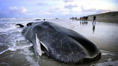 De plus en plus de mammifères marins s'échouent sur nos plages sans que l'on sache pourquoi